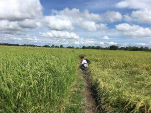 paddy trial in Letpadan Myanmar